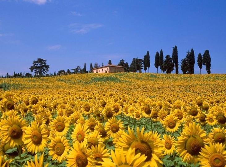 Cánh đồng hoa hướng dương tại Sabina, Ý